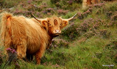Gorgeous ginger amd purple heather (mootzie) Tags: wildlife harris highland cow ginger hairy handsome nature outer hebrides horns purple heather