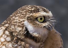 Burrowing Owl (Athene cunicularia) (Vegas Nelson) Tags: arizona bird burrowingowl camera maricopaagriculturalcentermaricopaaz nikond810 owl places