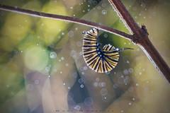 Mimetizando (www.studio360fotografia.es) Tags: castellar primotar meyeroptik primotar50mmf35 nikon bosque forest bokeh desenfoque danigonzalez d750 monarca oruga worm caterpillar monarch