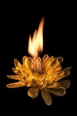 "Week 37 of 52 Theme: ""Fire"" Flaming Chrysanthemum (sumoetx) Tags: week37of52 52weekchallenge 52week 52weeksof2016 week37 fire flower water droplet flame nature sad sorrow death burn burning light flicker fall howardjackman sumoetx nikon d750 24120mm cablerelease gorillapod orange yellow gold gas gasoline utah utahphotographer utahresident outside outdoor unsafe dangerous"