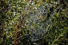IMG_0179 (kween_beek) Tags: spiderwebs webs dew wisconsin mcfarlandwisconsinmorning