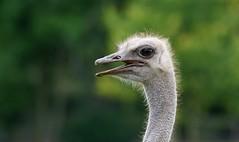 """No, you can't surprise me!"" (SteveJM2009) Tags: ostrich eyeballs head beak eyes feathers eyelashes dof focus face sun light marwellwildlife hants hampshire uk september 2016 stevemaskell naturethroughthelens"