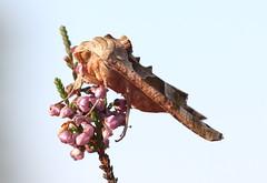 Angle Shades Moth (Ger Bosma) Tags: 2mg191344 agaatvlinder phlogophorameticulosa angleshades achateule craintive mticuleuse noctuidae moth butterfly camouflage posing inprofile macro closeup europe serrated wings head summer