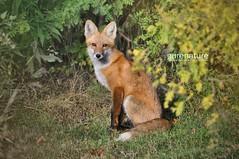Deceiving (Wenspics) Tags: animal fox redfox specanimal