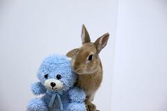 ICHIGO san 383 (mensore) Tags: rabbit bunny netherlanddwarf brown cute pet family ichigo