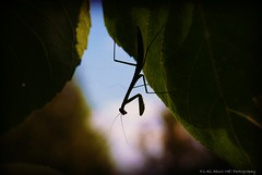 Praying Mantis (sweet_dreams20051) Tags: photocontesttnc09