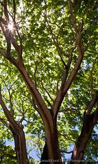 Guanacaste tree (Good Noise) Tags: sun tree leaves sunburst nicaragua guanacaste potosi