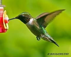 Ruby-throated (M) (ROCKADEE_Two With Eagles 1951 / Rockey & Dee) Tags: male newjersey hummingbird wildlife feeder nectar dee rubythroated naturerules rockadee birdinginthewild naturebytheyard