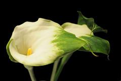 (Airton Morassi) Tags: flower fleur flor blomma bunga 花 blume fiore blomst virág bloem blóm çiçek زهرة kwiat گل 꽃 kukka цветок bláth cvet ดอกไม้ кветка květina kvetina फूल квітка
