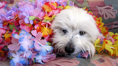 Dog of The Day: Kaolin 2002-2012 (rockinbeat) Tags: dog cotondetulear canonsd780 me2youphotographylevel1