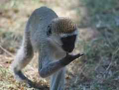 Mono cara negre (faltimiras) Tags: africa tanzania monkey mono kenya cara negre