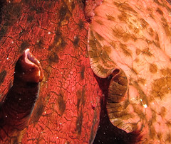 Sea Hares (Ed Bierman) Tags: scuba diving marinelife ncrd gaydiving