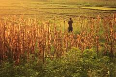 Golden Fields ( Jamie Mitchell) Tags: travel nepal sunset field animals rural photography golden rainbow buffalo corn asia village farm district harvest ox monsoon farmer nepalese calf oxen sunsari prakashpur