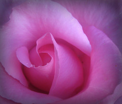 In the pink... (Bob T...) Tags: pink flower art floral rose ellen petals flickr bob petal ni bobthompson thompson the in thegalaxy mygearandme bheachain