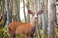 Gentlemen's Club (Aspenbreeze) Tags: colorado wildlife antlers wildanimal muledeer bucks thegalaxy specanimal buckmuledeer buckinvelvet aspenbreeze rememberthatmomentlevel1 rememberthatmomentlevel2 mudledeerbucks