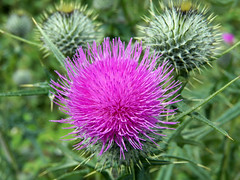 Do not touch ! (billnbenj) Tags: pink flower green thistle sharp cumbria thorns needles barrow spearthistle