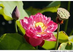 (Yang-SH) Tags: shanghai    lotusflower nanxiang  guyigarden