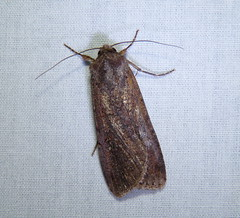 Pearly Underwing (Dendroica cerulea) Tags: summer newjersey moth nj insects lepidoptera blacklight noctuidae noctuinae highlandpark arthropoda invertebrate insecta owlet middlesexcounty mothlight owletmoth noctuoidea noctuini peridromasaucia agrotina pearlyunderwing