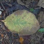 Big leaf thumbnail