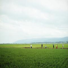rice fields (TAT_hase!) Tags: film kodak c hasselblad ricefield portra  planar  160 80mm carlzeiss 66 503cxi