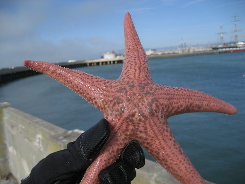 Starfish at San Francisco Municipal Pier