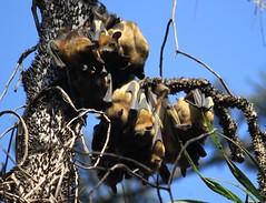 Maputo: Jardim Botnico de Tunduru (zug55) Tags: africa bat jardimbotnico hanging baixa botanicalgarden flyingfox bats mozambique maputo fruitbat moambique eidolon chiroptera oldworldfruitbat flughund megabat pteropodidae megachiroptera lourenomarques strawcoloredfruitbat thomashonney eidolonhelvum tunduru jardimtunduru palmenflughund jardimbotnicodetunduru jardnbotnicotunduru tundurugardens sstrawcoloredfruitbateidolonhelvum