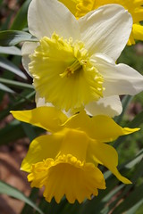 "Daffodils • <a style=""font-size:0.8em;"" href=""http://www.flickr.com/photos/54958436@N05/7779369470/"" target=""_blank"">View on Flickr</a>"