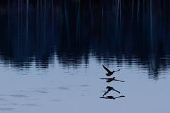 Day 145/366 (Explodingfish) Tags: sunset blackandwhite lake reflection bird water finland duck mallard ripples jyvskyl      flyingbird    palokkajrvi canon40d  366project sigma150500mmf563apodgoshsm