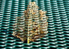 Holey Leaf on the Grill 1 of 3 (Orbmiser) Tags: summer abstract oregon portland table leaf nikon holey diseased paterns reptition d90 55200vr