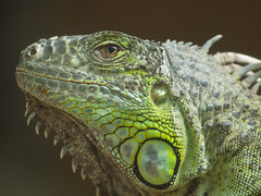 Green Iguana (Melian, Grey Wanderer) Tags: macro green animal zoo budapest iguana dpsgreen