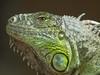 Green Iguana (Melian, Grey Wanderer) Tags: macro green animal zoo budapest iguana dpsgreen
