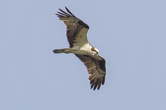 Osprey,. (John Mac Giolla Phdraig Leisen) Tags: pictures life new york wild usa fish news bird love nature birds john jack island fly dc long peace pics hawk conservation prey laurie fowl devlin foul hawks fitzpatrick migrating washinton sigel migrate a leisen mcnaulty whatsupcom httpwwwflickrcomphotosjackleisen jackleisengmailcom httpwwwyoutubecomjackleisen mcnolte