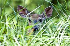 Furtive Fawn (raisinsawdust - (aka: tennphoto)) Tags: baby cute grass nikon colorful tennessee ears deer hidden fawn 2012 d90 nikond90