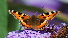 Small Tortoiseshell. 'aglais urticae'  EXPLORED (Paul (Barniegoog)) Tags: brown nature butterfly garden insect buddleia tortoiseshell papillon smalltortoiseshell