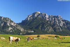 KUHWIESE BEI NEUSCHWANSTEIN AM SÄULING (PADDYSCHMITT.DE) Tags: küheimallgäu kühebeifüssen säuling schlosneuschwanstein ostallgäu