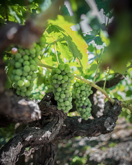 Grapes Down Under (Fret Spider) Tags: wine vine vineyard coppolawinery santarosa california sonoma napa bunch plant drink alcohol sonya7rii canonef24mmf14liiusm wideangle ultrawideangle mirrorless bokeh depthoffield bokehdelicious dof oof outoffocus sun outdoors life chardonnay