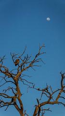 Treescape (aaRJay fotography) Tags: botswana chobenationalpark raghujana wildlife aarjayphotography africa bird vulture