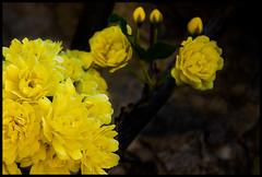 Amarillo. (De carrusel) Tags: 2016 flores carrusel barcelona catalunya espaa es