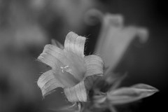 Bells in Black and White (San Francisco Gal) Tags: blackandwhite bw flower macro fleur monochrome blossom bn bloom campanula