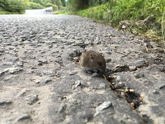 Baby Mouse (Ed Swift) Tags: iphoneography mouse outdoor fauna wildlife road iphone se iphonese