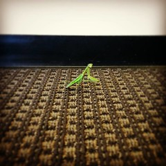 Continue Being A Mantis (phillytrax) Tags: philadelphia philly pa pennsylvania cityofbrotherlylove 215 city urban usa america unitedstates metropolis metropolitan westphilly westphiladelphia universitycity racehall racestreetresidences drexelcampus drexeluniversity mantid mantis prayingmantis hallway instagram green selectivefocus spotfocus carpet instagramapp square squareformat iphoneography uploaded:by=instagram hefe