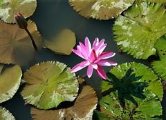 DP1U4111 (c0466art) Tags: 2016 summer season lotus field  wate rlilies cloom colorful flowers scenery landscape canon 1dx c0466art
