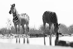 Thirst (DrScottA) Tags: madikwegamereserve zebra blackandwhite bw mammal africa safari waterhole reflections