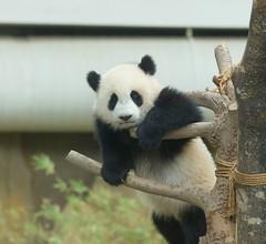 10-month-old (almost) Nuan Nuan 2016-06-16 (kuromimi64) Tags: zoonegara malaysia   zoo nationalzoo zoonegaramalaysia kualalumpur  bear   panda giantpanda     nuannuan