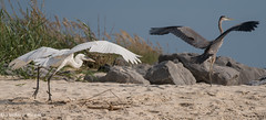 Great White Heron, or Great Blue Heron (White Form) (stephaniepluscht) Tags: alabama 2016 dauphin island great white heron blue ardea herodius occidentals beach wings waves