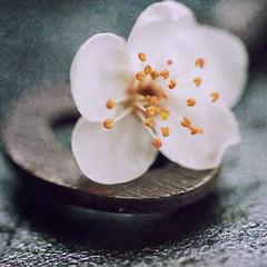 Blossom (borealnz) Tags: blossom flower key macro closeup stamen pretty