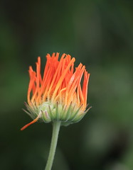 Lovely orange (Sappho et amicae) Tags: flower orange flora macro eljkagavrilovi