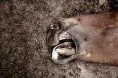 still life / natura morta - III (Ferran.) Tags: horse cavall caballo mort dead deaths nature queralbs ripolles catalunya catalonia still life
