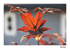 Backlit maple - border (beloy) Tags: tree maple japanesemaple red backlit color plant organic d610 nikond610 nikon