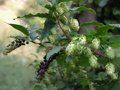 Composizione naturale (chiaraa60) Tags: luppolo phytolacca pianta verde